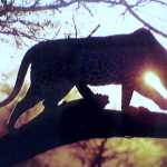 leopard moon book